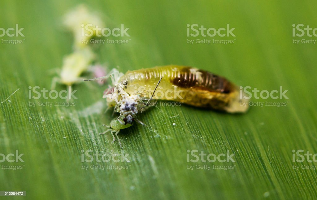 Aphidoletes aphidimyza stock photo