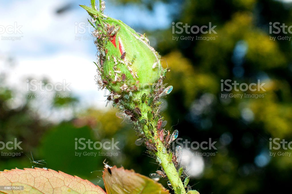 Aphids damage roses stock photo