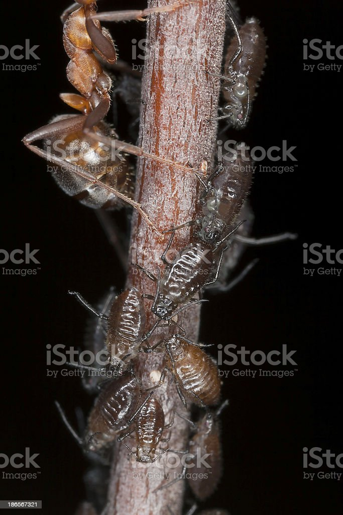 Aphids, extreme close up with high magnification royalty-free stock photo