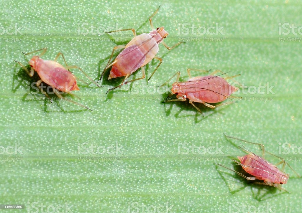 aphids, Macrosiphum species stock photo