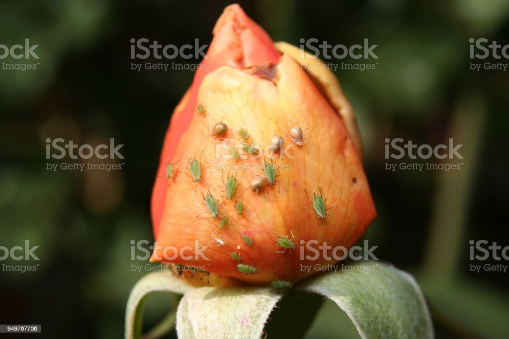 Aphids on a Rose bud stock photo
