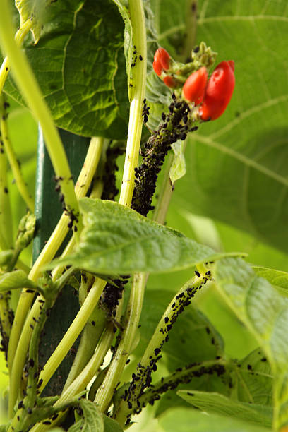 Aphids auf bean plant – Foto