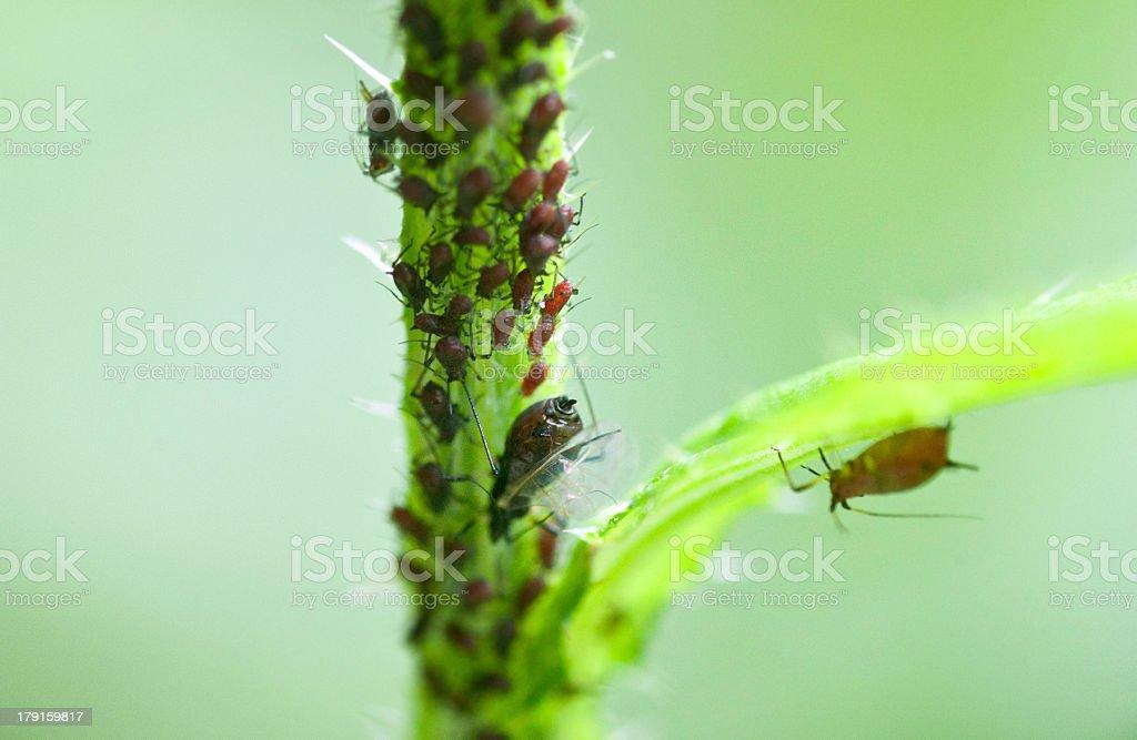 aphids - Schädlinge auf Pflanzen pest infestation stock photo