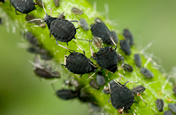 Aphids  aphid stock pictures, royalty-free photos & images