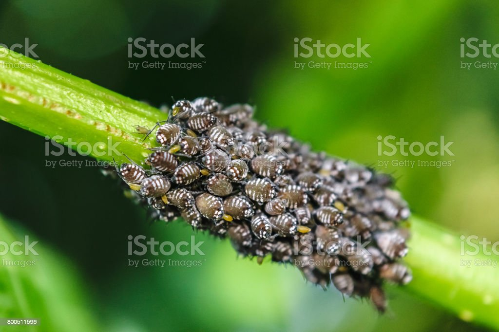 Aphids (Green fly / Black Fly) stock photo