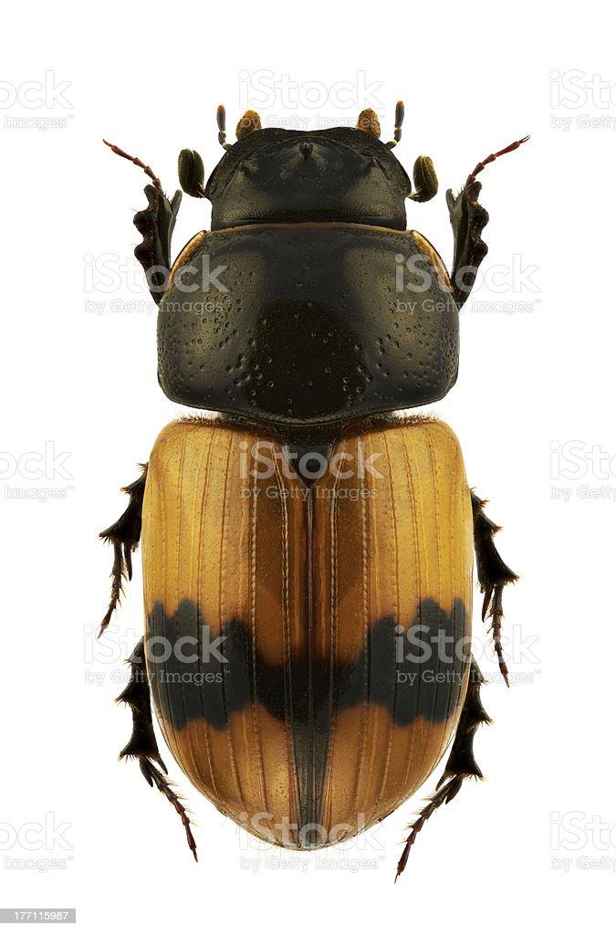 Aphodius coniugatus - foto de acervo