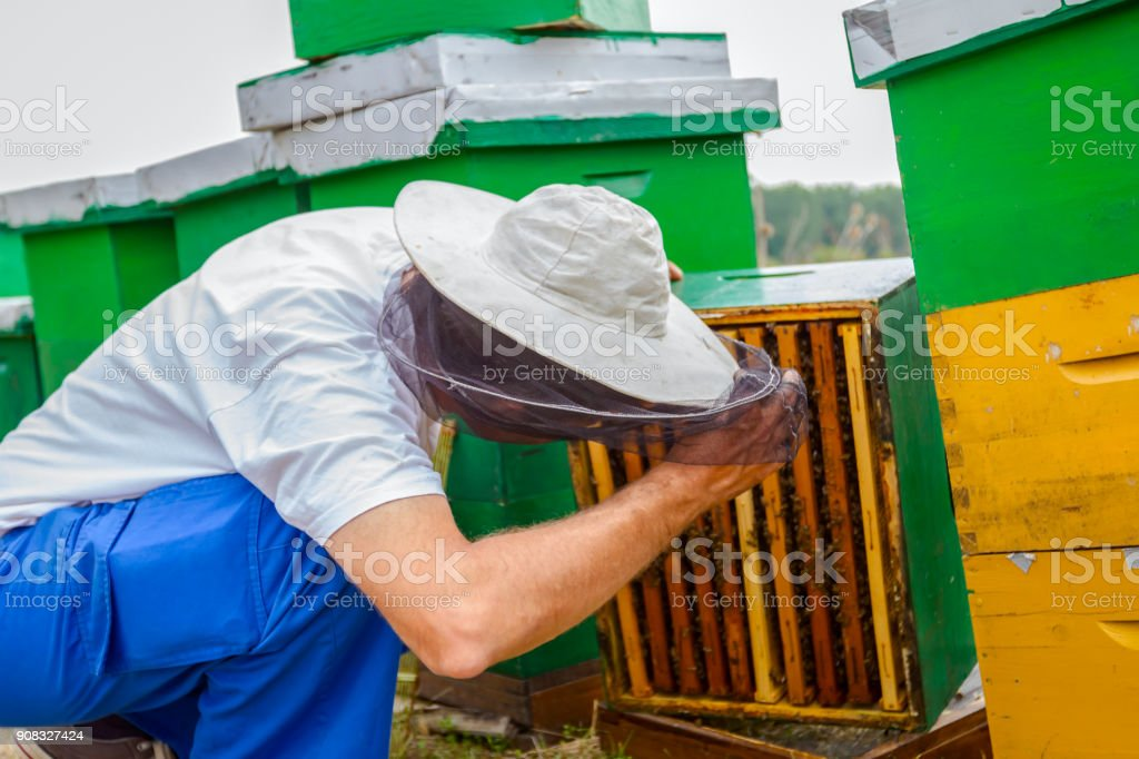 Apiarist, beekeeper barehanded working with bees stock photo