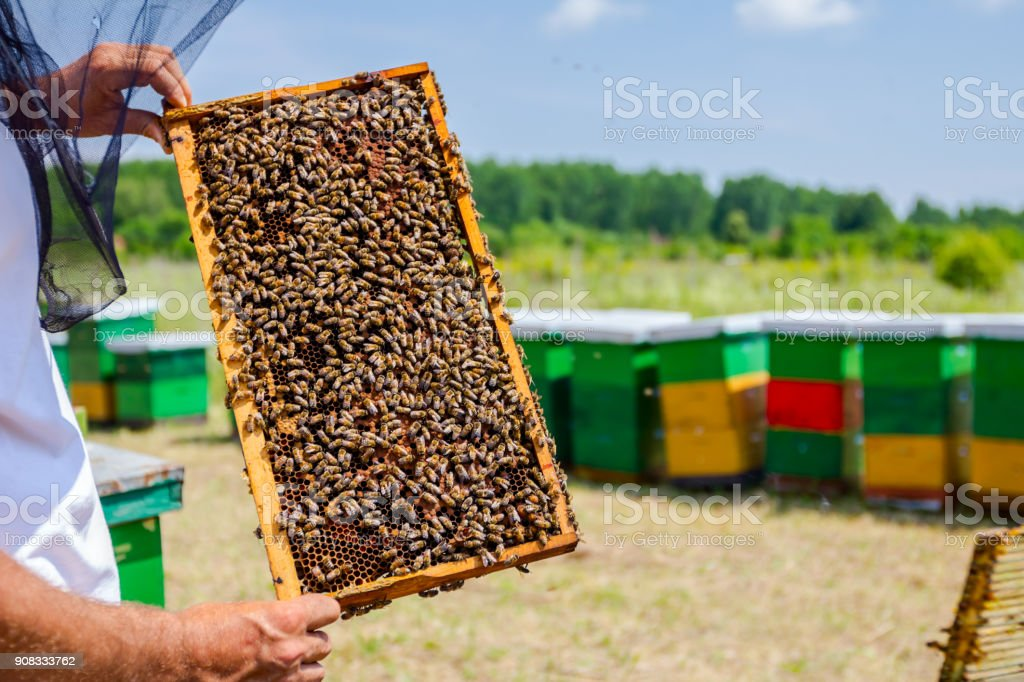 Apiarist, beekeeper is holding barehanded honeycomb with bees stock photo