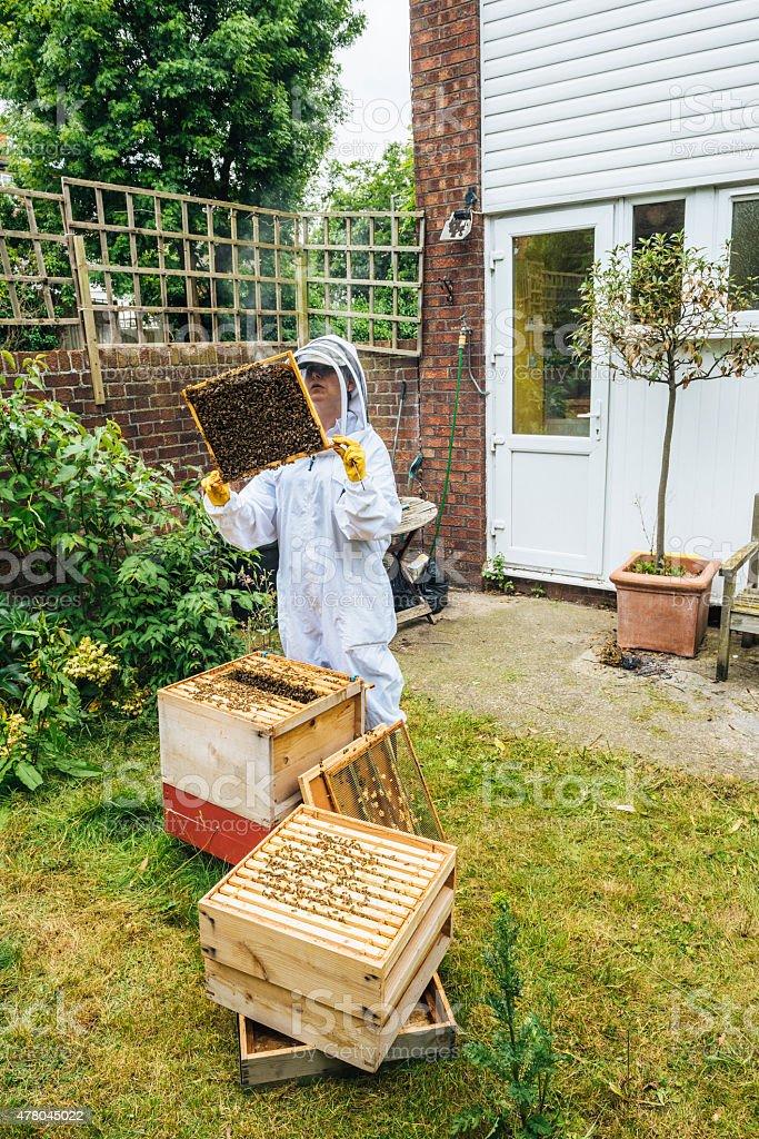 Apiarist inspecting her urban beehive stock photo
