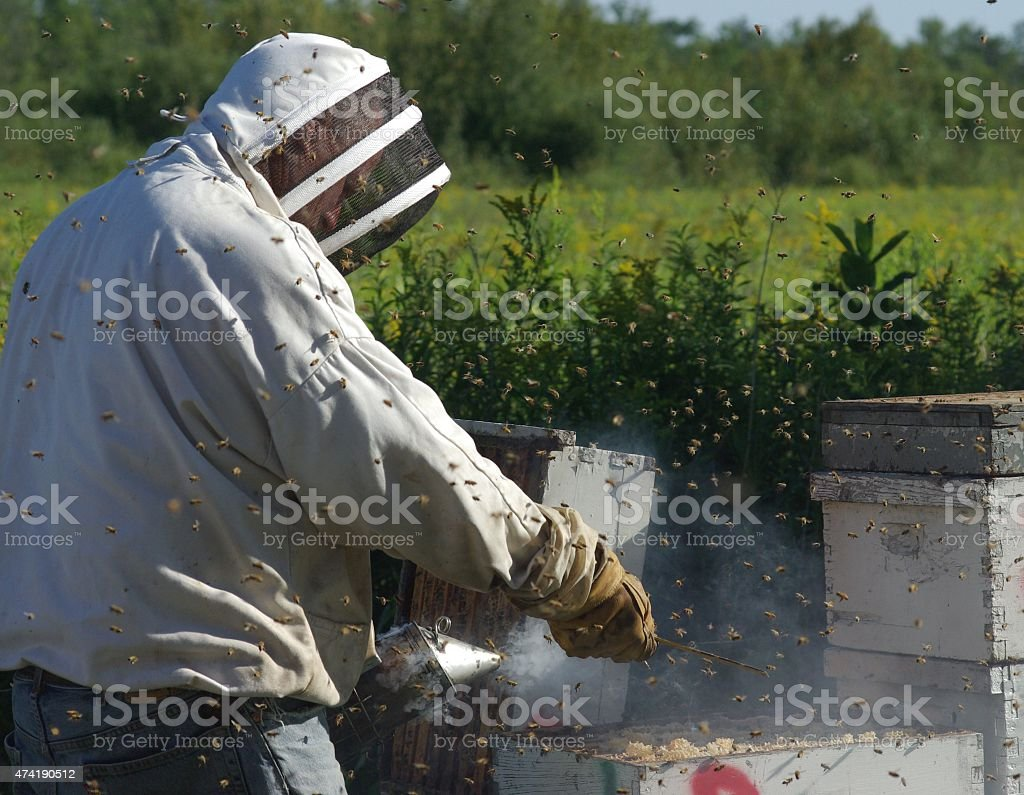 Apiarist smoking honey bees stock photo