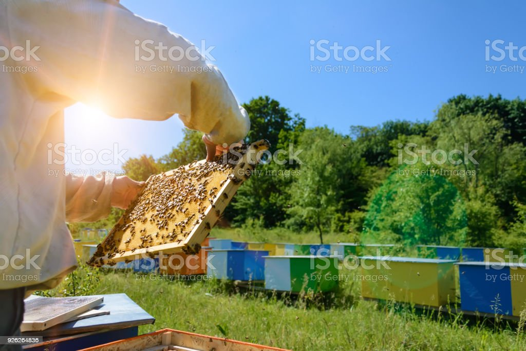 Apiary. The beekeeper takes out from the hive honeycomb with bees. Apiculture. stock photo