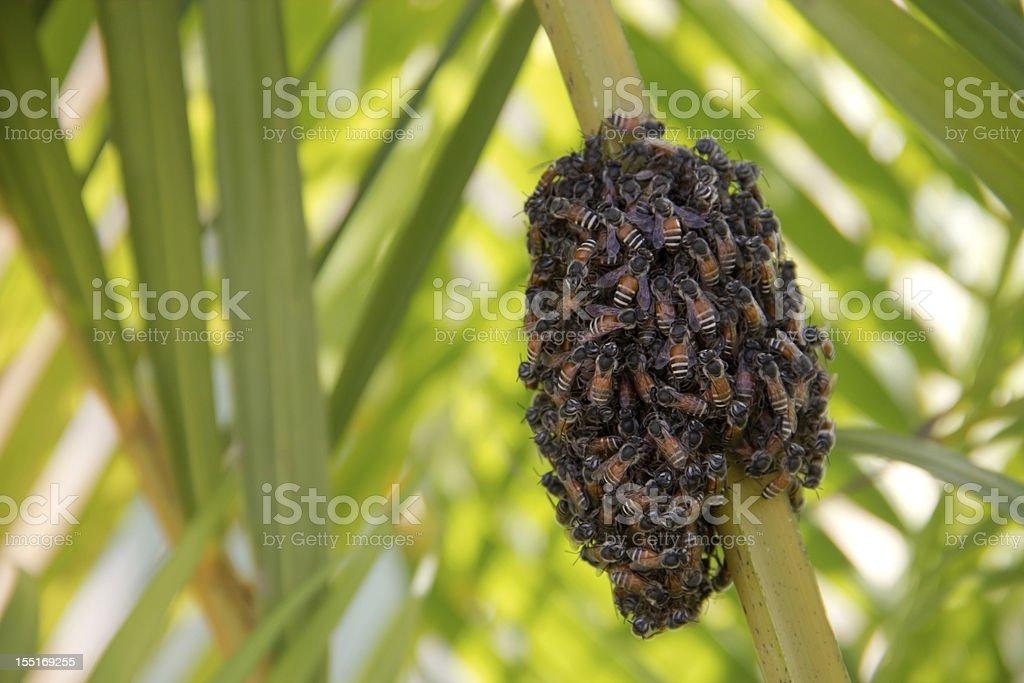 Apis andreniformis stock photo