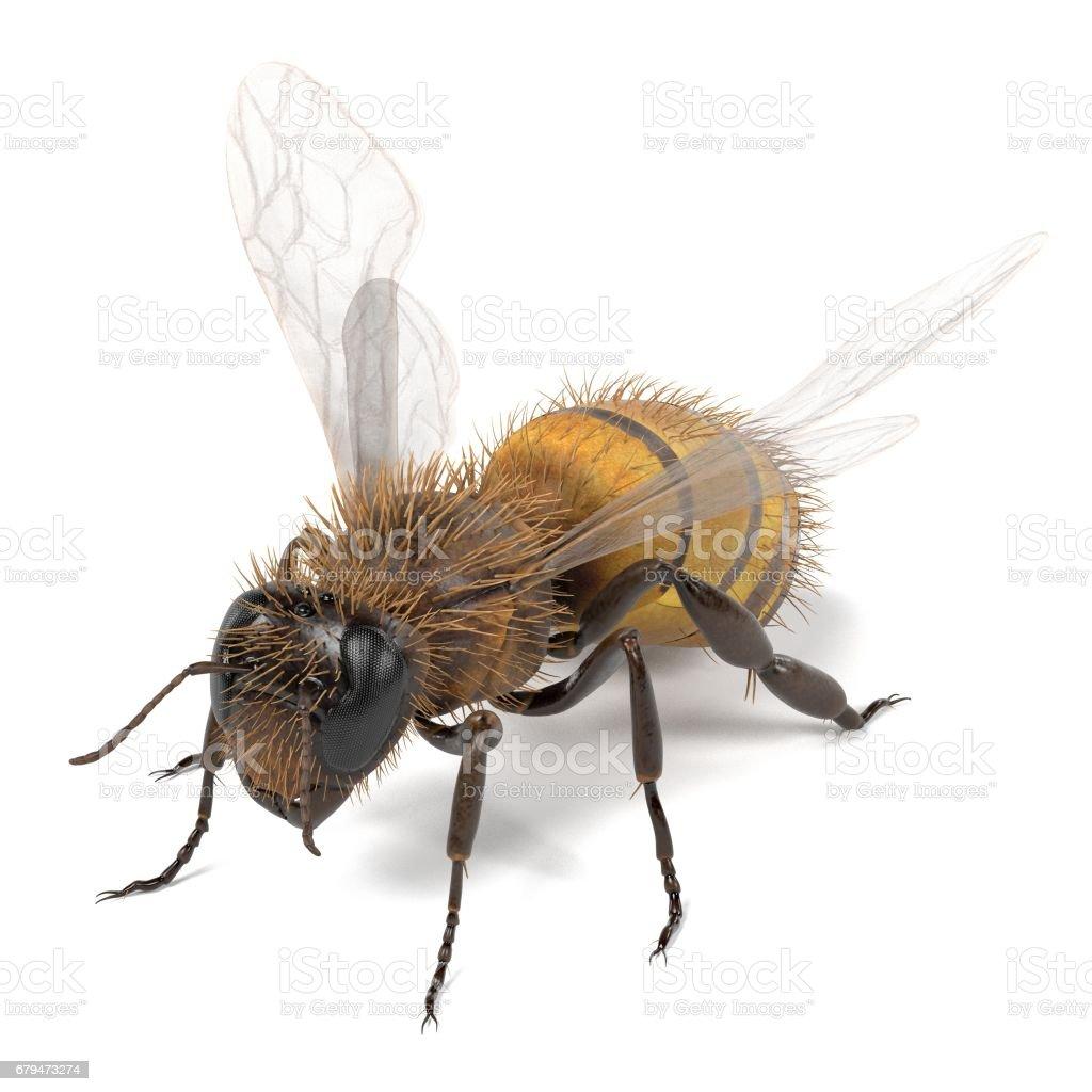 api melifera 免版稅 stock photo