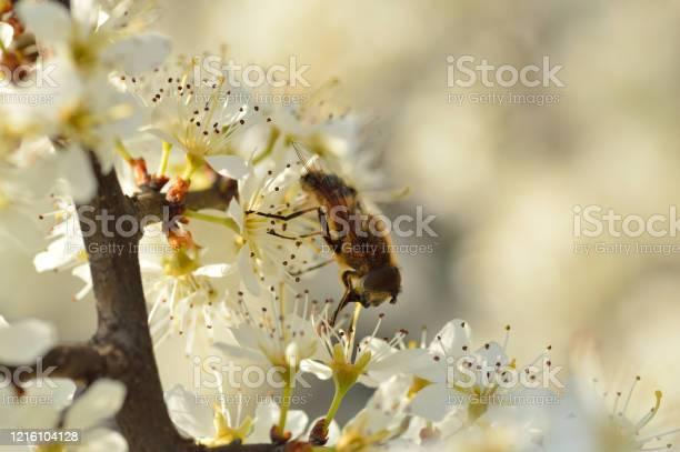 Photo of Apis Mellifera Bee on Hawthorn flower.