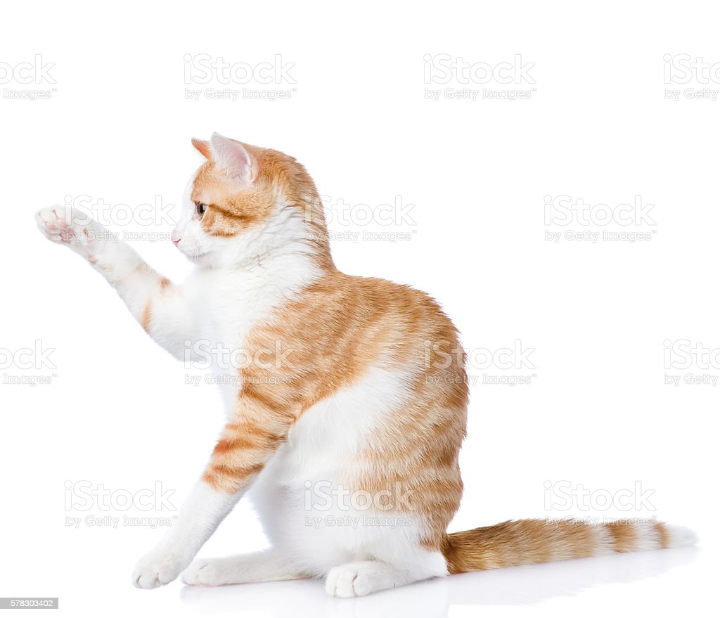 aplayful funny kitten isolated on white background stock photo