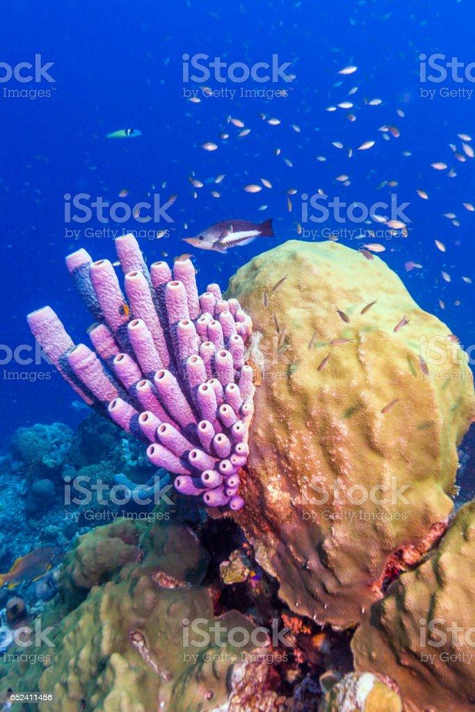 Aplysina archeri, ESTUFA-Esponja de tuberías - foto de stock