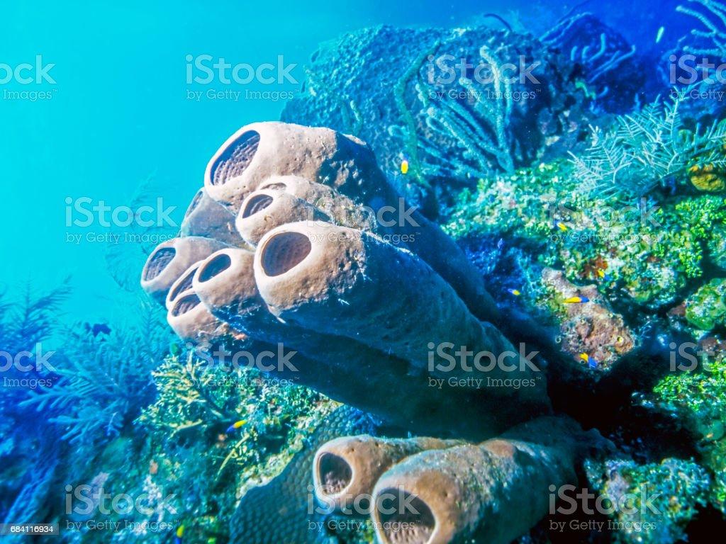 Aplysina archeri,stove-pipe sponge royalty free stockfoto
