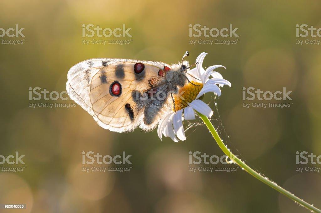 Papillon Apollon (Parnassius apollo) contre le soleil du soir - Photo