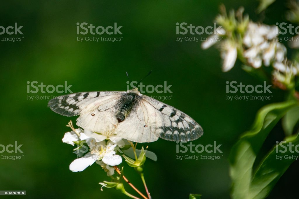 Apollo butterfly, Parnassius clodius stock photo