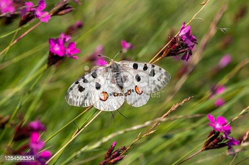 Apollo butterfly (Parnassius apollo) resting on grass.