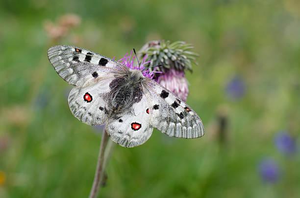 Apollo Butterfly – Foto