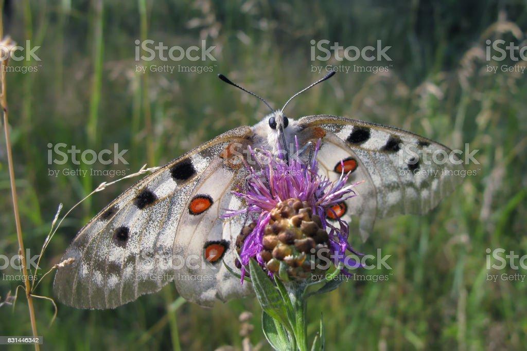 Apollo butterfly (Parnassius Apollo) stock photo