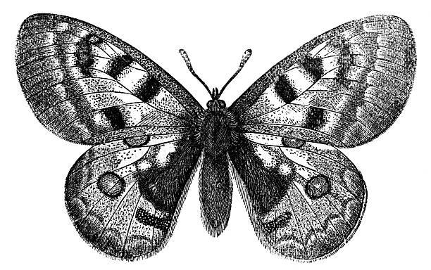 Mariposa apolo - foto de stock