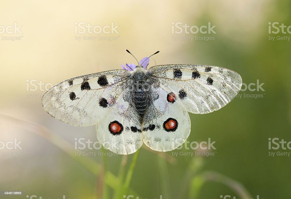 apollo ou la montagne Apol. (Parnassius apollo) - Photo