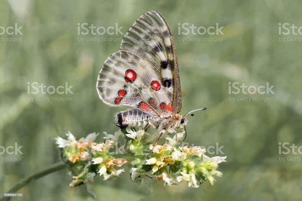 apollo ou la montagne apollo (Parnassius apollo) - Photo