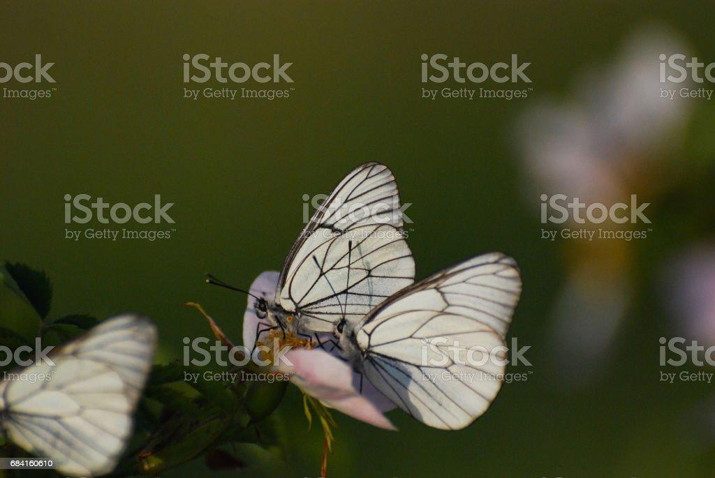 Aporia crataegi, Black Veined White butterflies in natural habitat. royalty-free stock photo