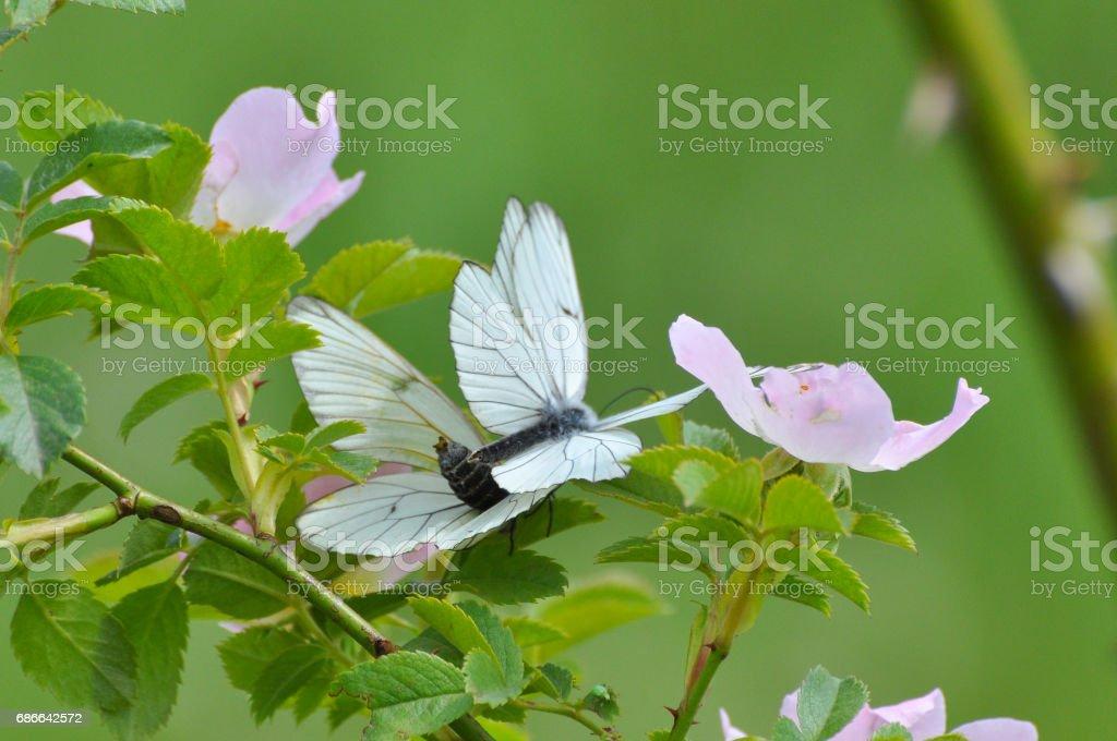 Aporia Crataegi, geädert schwarz Schmetterling im wilden. Lizenzfreies stock-foto