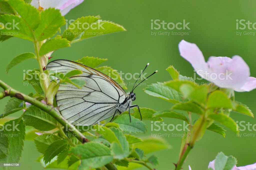 Aporia crataegi, Black Veined White butterfly in wild. royalty-free stock photo