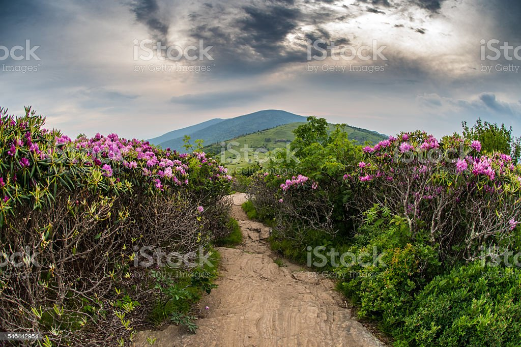 Appalachian Trail Descends Jane Bald Through Rhododendron stock photo