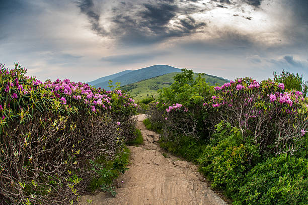 Appalachian Trail Descends Jane Bald Through Rhododendron Appalachian Trail Descends Jane Bald Through Rhododendron bloom in June appalachian trail stock pictures, royalty-free photos & images