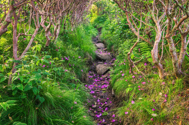Appalachian Trail, spent rhododendron petals stock photo
