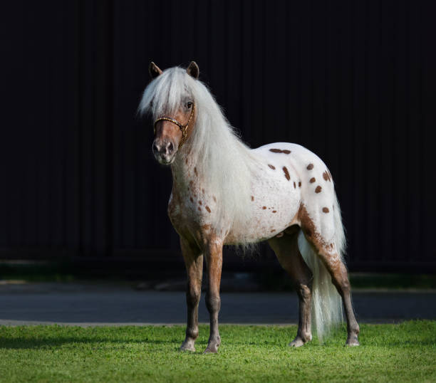 Appaloosa American miniature horse standing on green grass. Appaloosa American miniature horse standing on green grass on dark background. appaloosa stock pictures, royalty-free photos & images