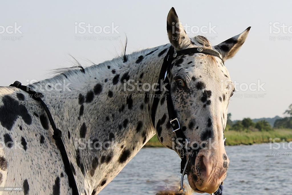 Appaloosa by the river stock photo