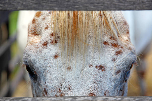 Appaloosa face close up A close up of a handsome appaloosa horse, between two boards of a wooden fence. appaloosa stock pictures, royalty-free photos & images