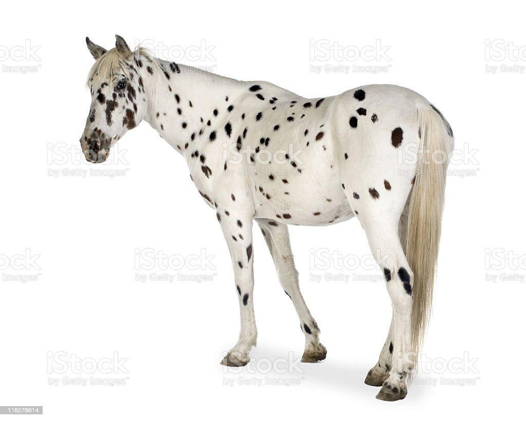 Appaloosa Horse Stock Photo Download Image Now Istock