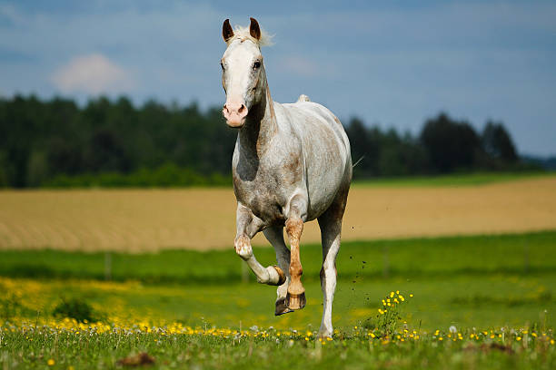Appaloosa, horse Appaloosa Stute im freien Galopp appaloosa stock pictures, royalty-free photos & images