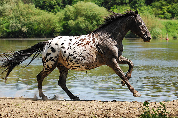 appaloosa horse horse appaloosa stock pictures, royalty-free photos & images
