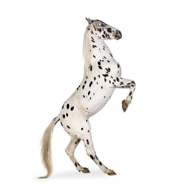 Appaloosa horse  appaloosa stock pictures, royalty-free photos & images