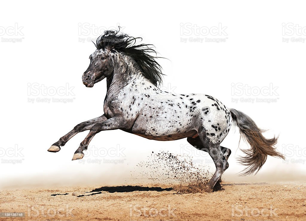 Appaloosa horse play in summer stock photo