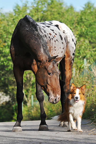 Appaloosa horse portrait in summer and puppy border collie Appaloosa horse portrait in summer with puppy border collie appaloosa stock pictures, royalty-free photos & images