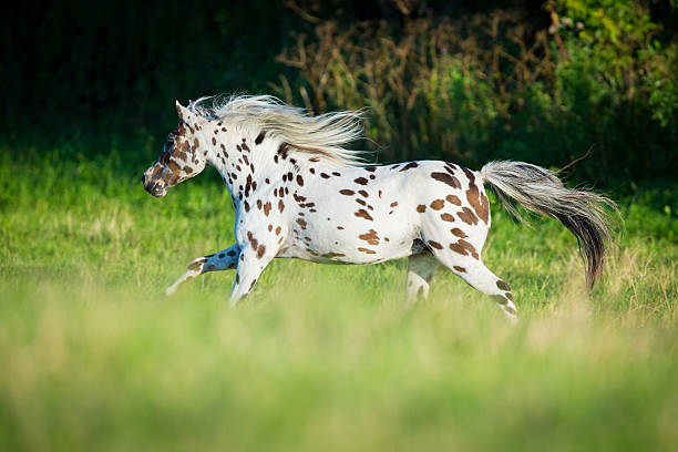 Appaloosa horse running in field Appaloosa horse running in field in summer appaloosa stock pictures, royalty-free photos & images