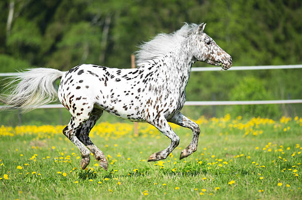 Appaloosa horse runs gallop on the meadow in summer time stock photo