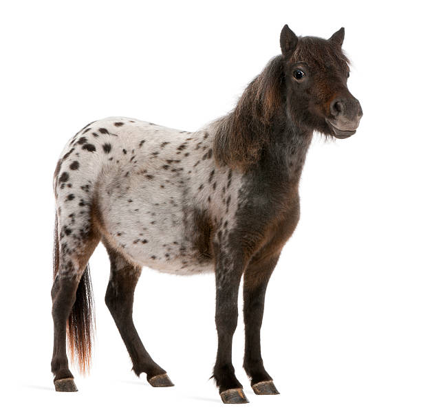 Appaloosa Miniature horse, Equus caballus, standing,  white background.  appaloosa stock pictures, royalty-free photos & images