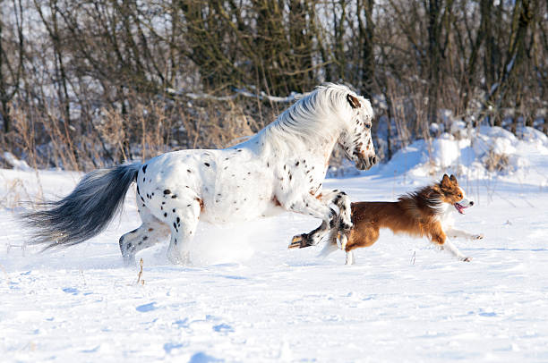 Appaloosa pony and border collie runs gallop in winter stock photo
