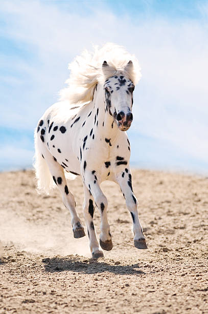 Appaloosa pony runs gallop in dust Appaloosa pony runs gallop in dust on sky background appaloosa stock pictures, royalty-free photos & images