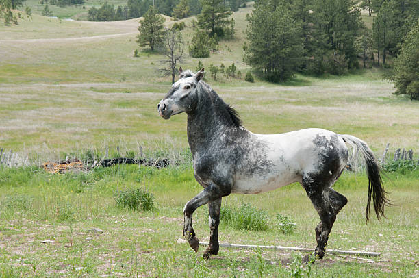 Appaloosa Spanish Mustang Stallion Hot Springs, SD appaloosa stock pictures, royalty-free photos & images